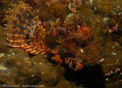 BD-060407-Moalboal--Scorpaenopsis-oxycephala-(Bleeker.-1849)-[Caledonian-devilfish].jpg